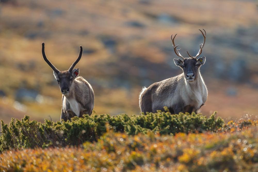Глобальное потепление меняет модели миграции арктической фауны: NASA