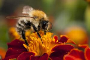 Создана глобальная карта видового разнообразия пчел