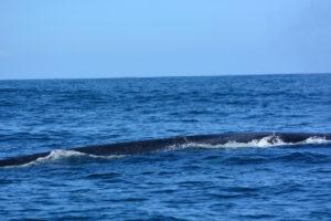 Спустя полвека синие киты вернулись в Южную Атлантику
