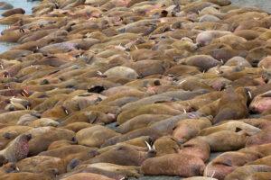 В Арктике нашли крупнейшее береговое лежбище моржей