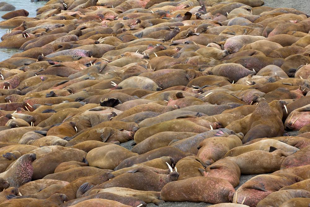 В Арктике нашли крупнейшее береговое лежбище моржей.Вокруг Света. Украина