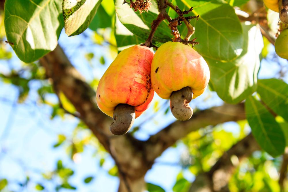 День кешью: а вы знали, как орех выглядит на дереве?
