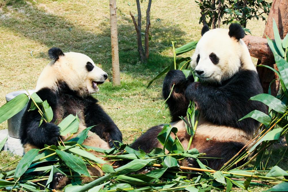 Три маленькие панды сражаются за бамбук: видео