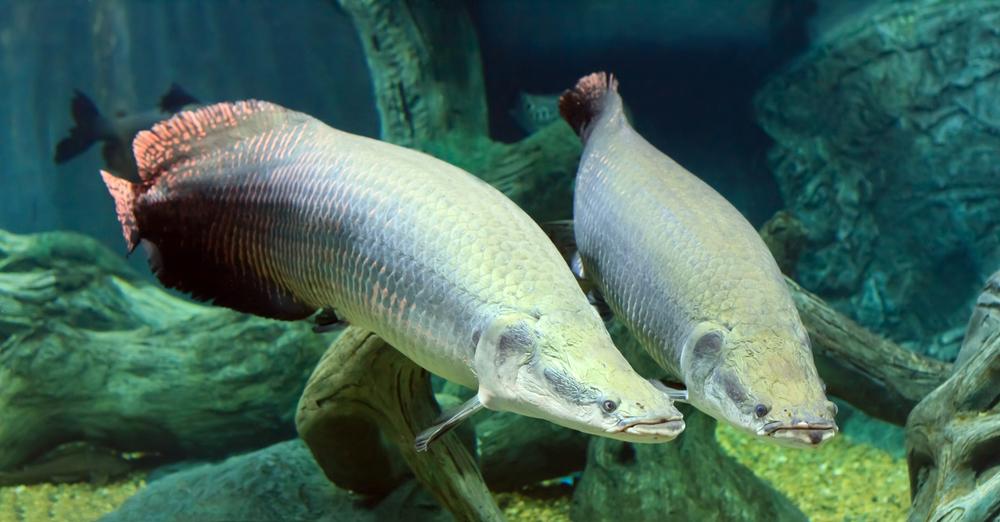 Как в Амазонии спасают рыбу арапайму, которой не страшны пираньи?.Вокруг Света. Украина