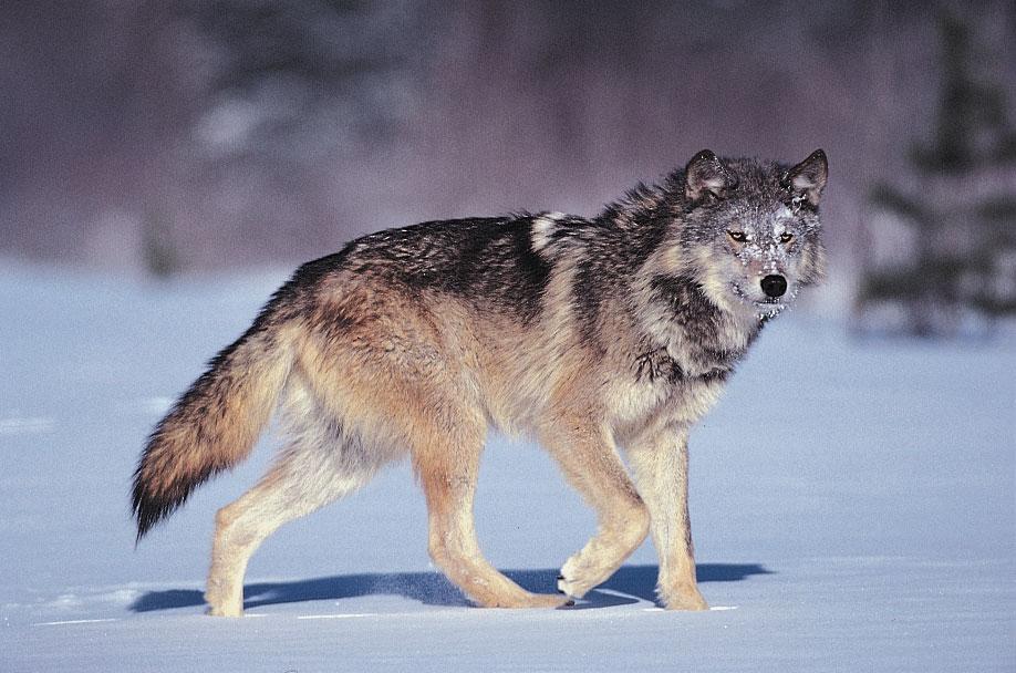 Жители Колорадо проголосовали за возвращение волков в дикую природу штата