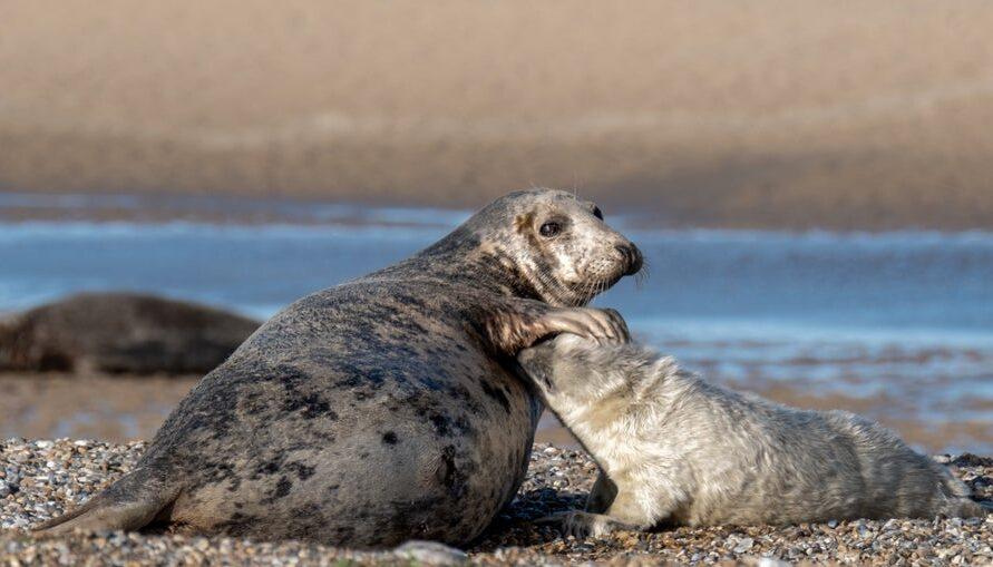 В британской колонии серых тюленей рекордный беби-бум – 4000 детенышей.Вокруг Света. Украина