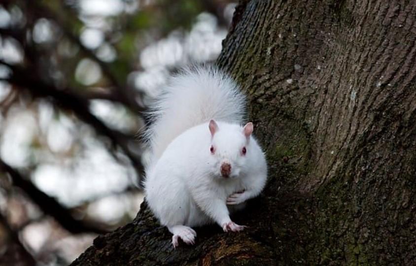 В Шотландии заметили редкую белку-альбиноса
