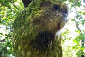 Птицей года стал попугай, притворяющийся кустом