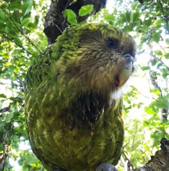 Птицей года стал попугай, притворяющийся кустом.Вокруг Света. Украина