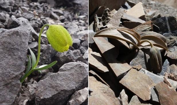 В Китае цветок притворяется камнем, чтобы спрятаться от людей