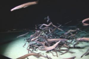 Биологи зафиксировали рекордное скопление рыб в глубинной морской зоне