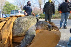 В США спасли 150-килограммовую черепаху, которая застряла на пляже