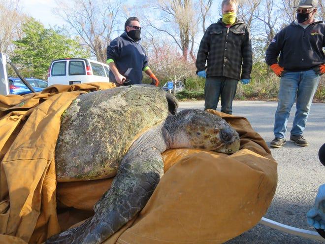 В США спасли 150-килограммовую черепаху, которая застряла на пляже.Вокруг Света. Украина