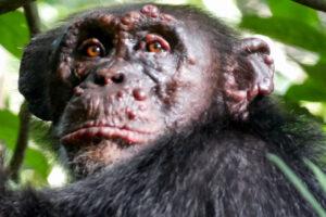 В Африке шимпанзе заболели проказой