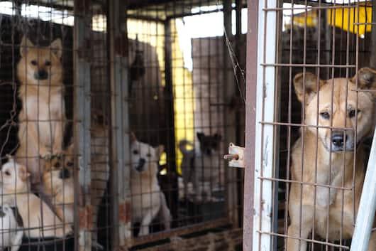 200 собак отправились из южнокорейской мясной фермы в американский приют