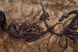 В США покажут полный скелет тираннозавра, погибшего на дуэли