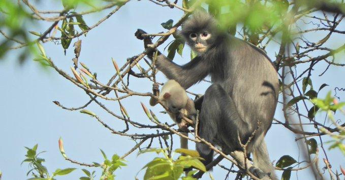 Новый вид приматов из Мьянмы уже признали исчезающим