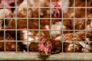 Нидерланды, Германия и Англия борются со вспышкой птичьего гриппа