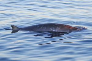 У берегов Мексики заметили новый вид клюворылых китов