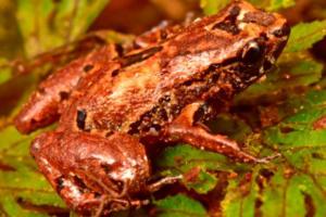 Лягушка-лилипут и бабочка-сатир: в Боливии открыли 20 новых видов фауны