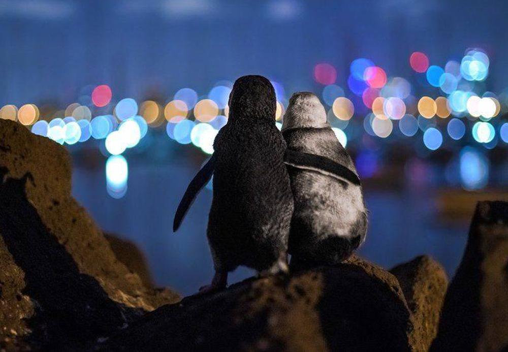 Овдовевшие пингвины утешают друг друга: фото дня