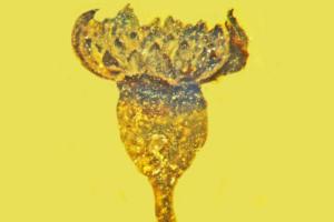 В Мьянме нашли крошечный цветок, которому 100 млн лет
