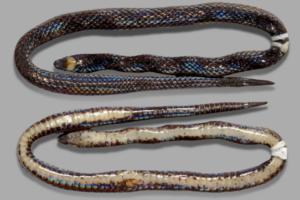 Размером с карандаш: на Филиппинах открыли новый вид роющих змей