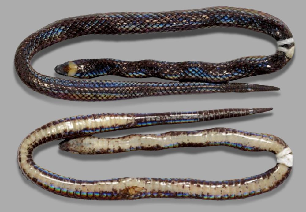 Размером с карандаш: на Филиппинах открыли новый вид роющих змей.Вокруг Света. Украина