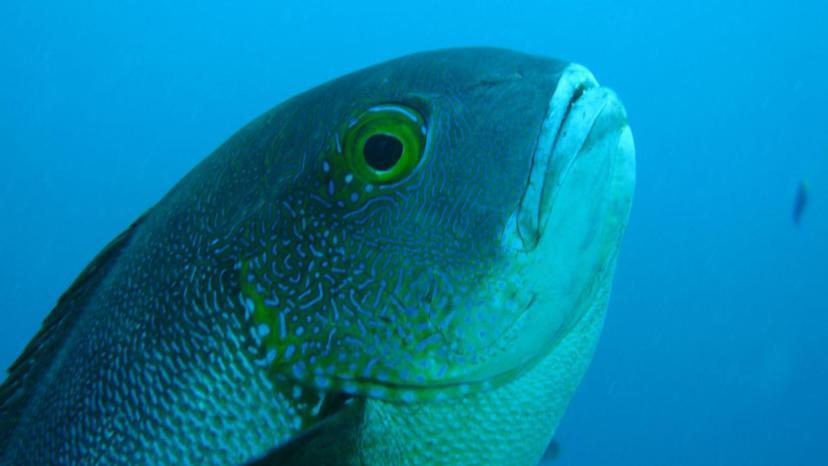 В Австралии обнаружили старейшую рифовую рыбу