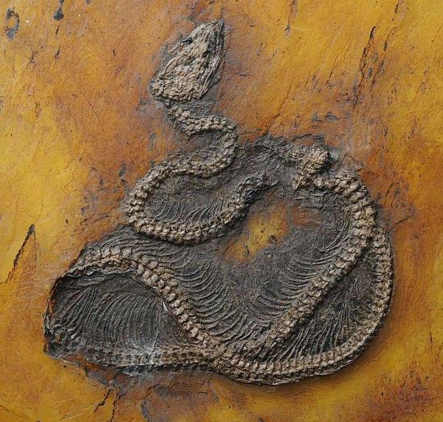 В Германии нашли древнейшего питона возрастом почти 50 миллионов лет