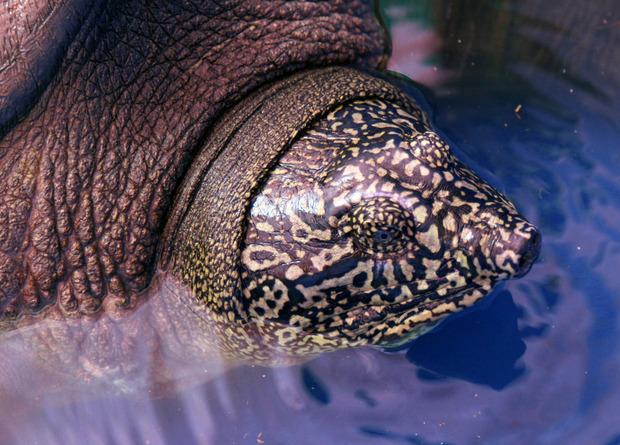 Новая надежда: найдена самка почти вымерших черепах Свайно