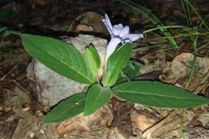В Мьянме обнаружили цветок, пропавший более века назад