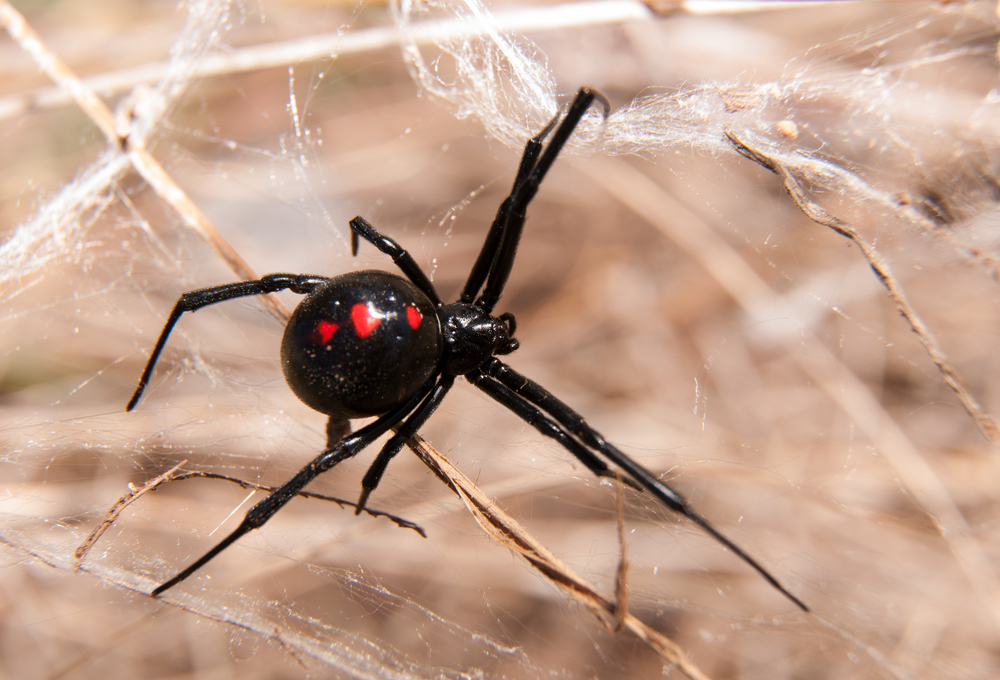 При укусе паука опасен не только яд: пауки могут переносить инфекции.Вокруг Света. Украина