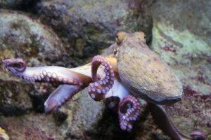 Осьминоги воспитывают рыб