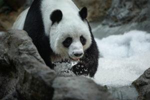 Большие панды знают особый способ защиты от холода
