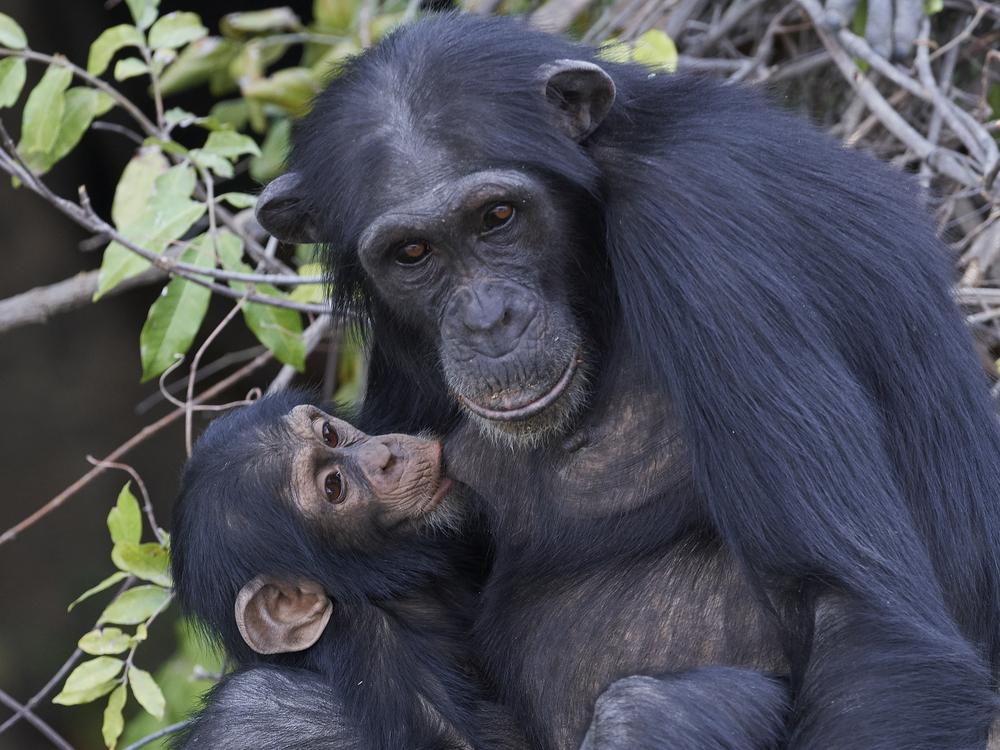 Взрослые самцы шимпанзе остаются маменькиными сынками