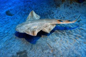 У берегов Уэльса вновь замечены редкие акулы-ангелы