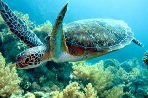 У зеленых морских черепах рождается все меньше самцов