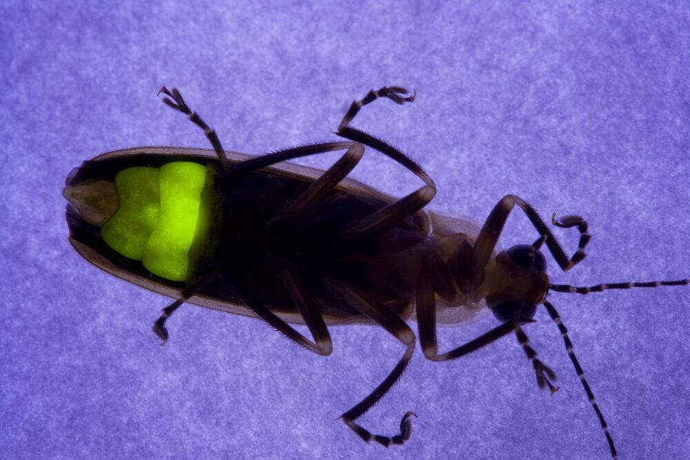 Генетики установили, что 100 млн лет назад светлячки светились темно-зеленым.Вокруг Света. Украина