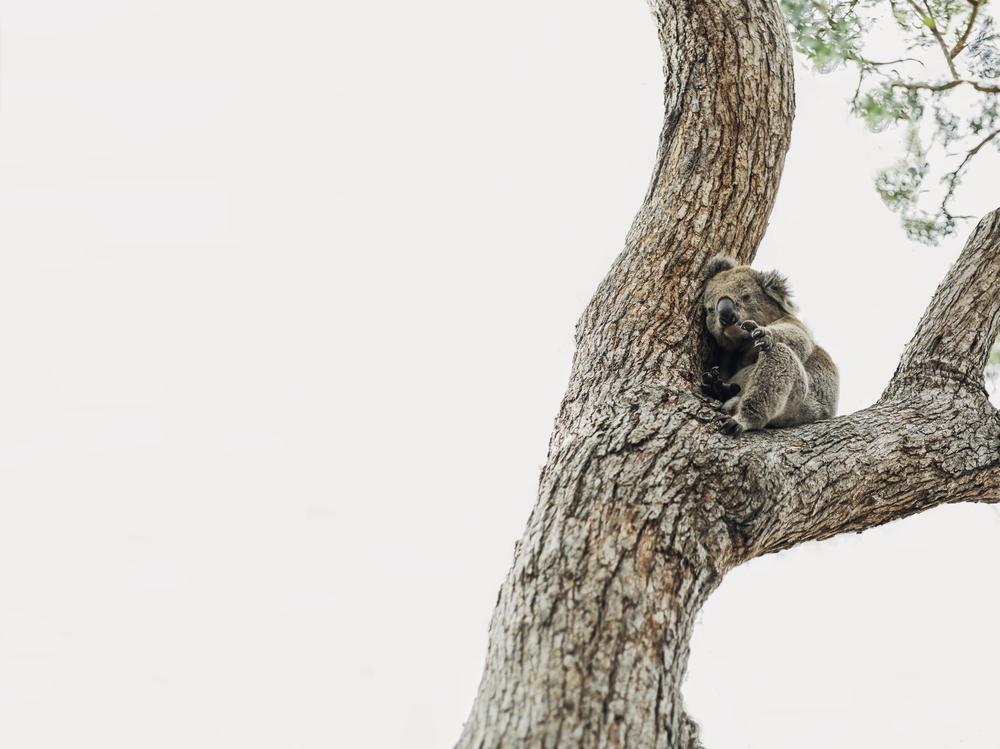 Более 60 тысяч коал пострадали в Австралии из-за пожаров