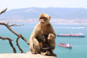 Ветпатруль ежедневно проверяет макак Гибралтара на COVID-19