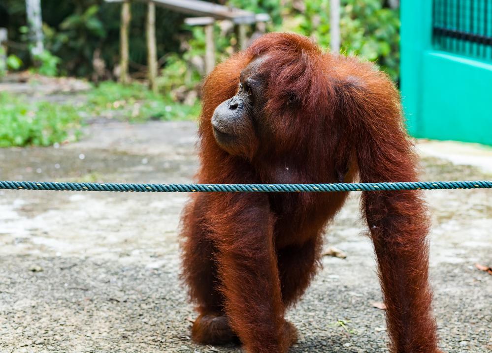 пальмовое масло, орангутан Борнео