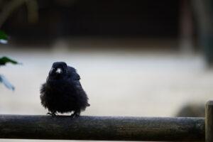 Птенцы воронов умны как взрослые шимпанзе