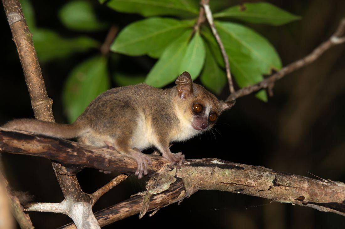 Из-за пандемии лемуры Мадагаскара оказались под угрозой вымирания