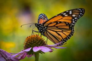 Бабочка-монарх Калифорнии нуждается в срочной защите