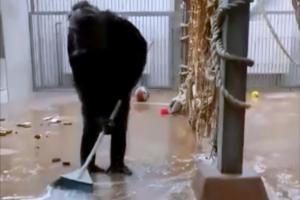 В зоопарке Таллинна шимпанзе немного поработал уборщиком: видео