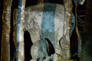 В Таиланде мужчина реанимировал слоненка, попавшего в ДТП