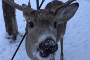 Почти по Мюнгхаузену. В Канаде нашли оленя, который живет со стрелой в голове