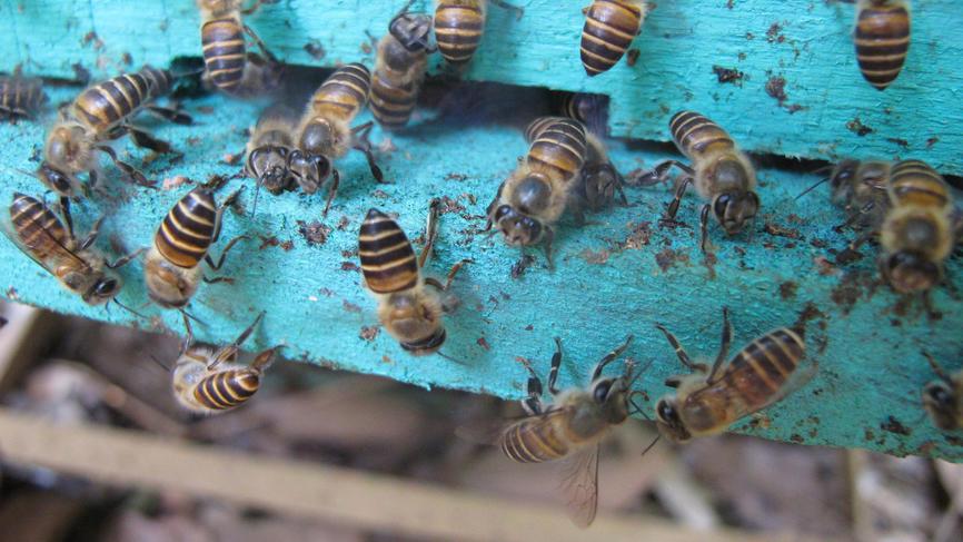 Пчелы знают, как отражать нападения гигантских шершней