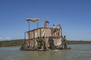 В Кении спасают тонущих жирафов